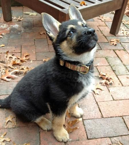 i would adopt a German shepherd puppy in a heartbeat <3  Me too!