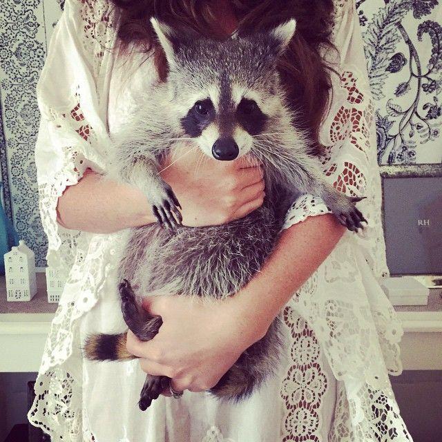 Un raton laveur orphelin adopté se considère comme un chien  2Tout2Rien