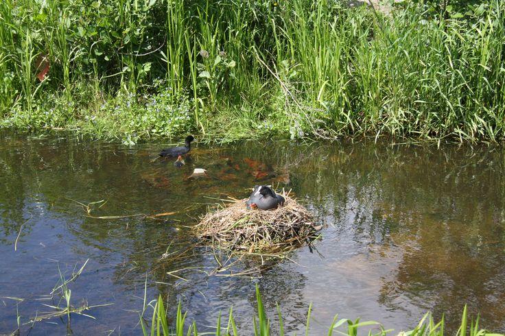 Jonge meerkoetjes in Veenendaal-oost