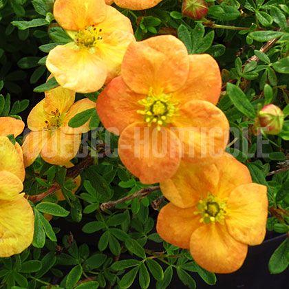 image de Potentilla fruticosa Orangeade