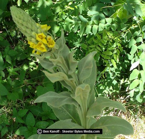The mullein has to be one of the most recognizable foraging plants. It's found throughout the United States. The long stalks can reach seven feet in height and are easily spotted from a distance.Th…