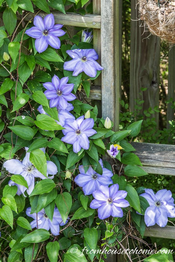 How To Grow Clematis With Big Beautiful Blooms | If you are looking for ideas on how to prune, grow and care for Clematis to get those big purple, blue and pink blooms in your garden, this guide will definitely help! It even includes a list of the best varieties to grow.