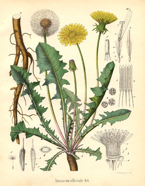 dandelion - High in vitamin  A C B1; make tonic by steeping fresh leaves in hot water, extremely powerful medicinal plant. Top 5 north american plant for warding off disease and restoring health