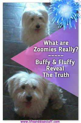 Check out our new blog post! What are Zoomies Really? - Buffy and Fluffy Reveal the Truth #dogs #humor