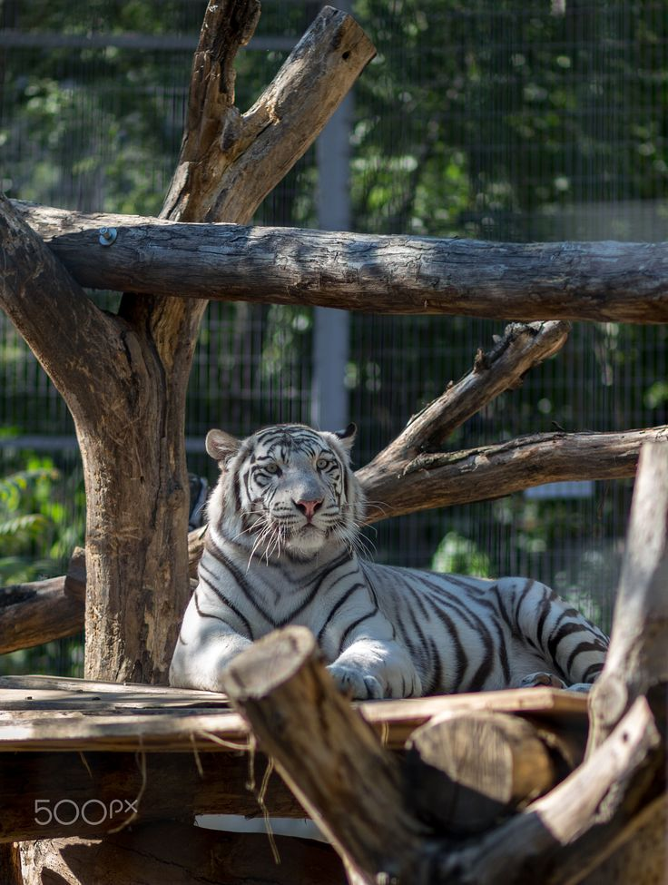 """Lazy white tiger in the Pécs Zoo Pécs, Baranya, Hungary  Please write to me if you are interested in my photography work on your travel or wedding around the world! If you like my photos, please like/follow my <a href=""""https://www.facebook.com/blackchilimedia"""">Facebook page</a> and my <a href=""""https://instagram.com/fbazsi"""">Instagram</a>. Thank you! :)"""