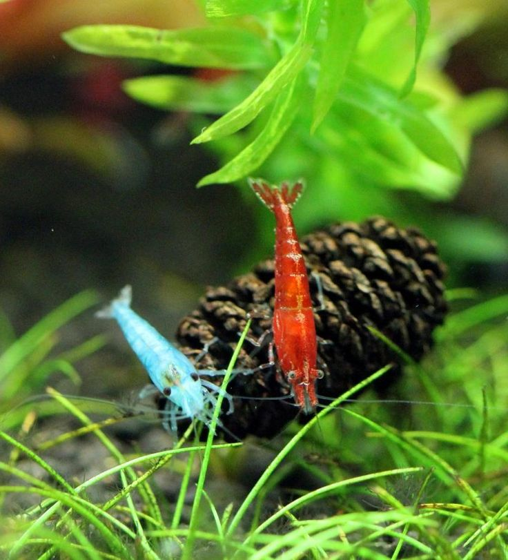 1000 images about fish tank on pinterest shrimp guppy for Shrimp fish tank