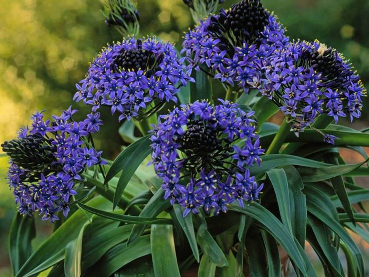Scilla Peruviana Peruvian Lily Is A Bulb Bearing Herbaceous Perennial Plant Leaves Are Dark Green Strap Shaped Up To 2 Feet Cm