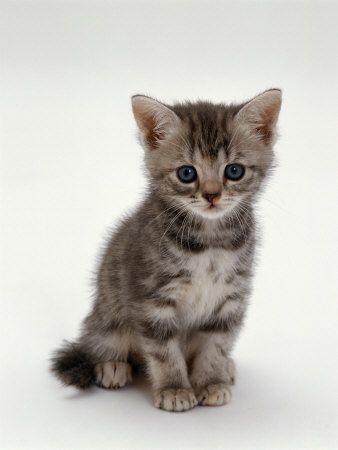 Gato doméstico, 7-Weeks, Plata Gatito De La Concha