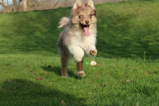 Pomsky Shepherd Maltese  mix Mix puppy for sale in JUNCTION CITY, OH. ADN-27046 on PuppyFinder.com Gender: Female. Age: 16 Weeks Old