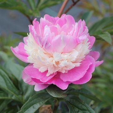 Paeonia lactiflora 'Sorbet' 2L Luktpion