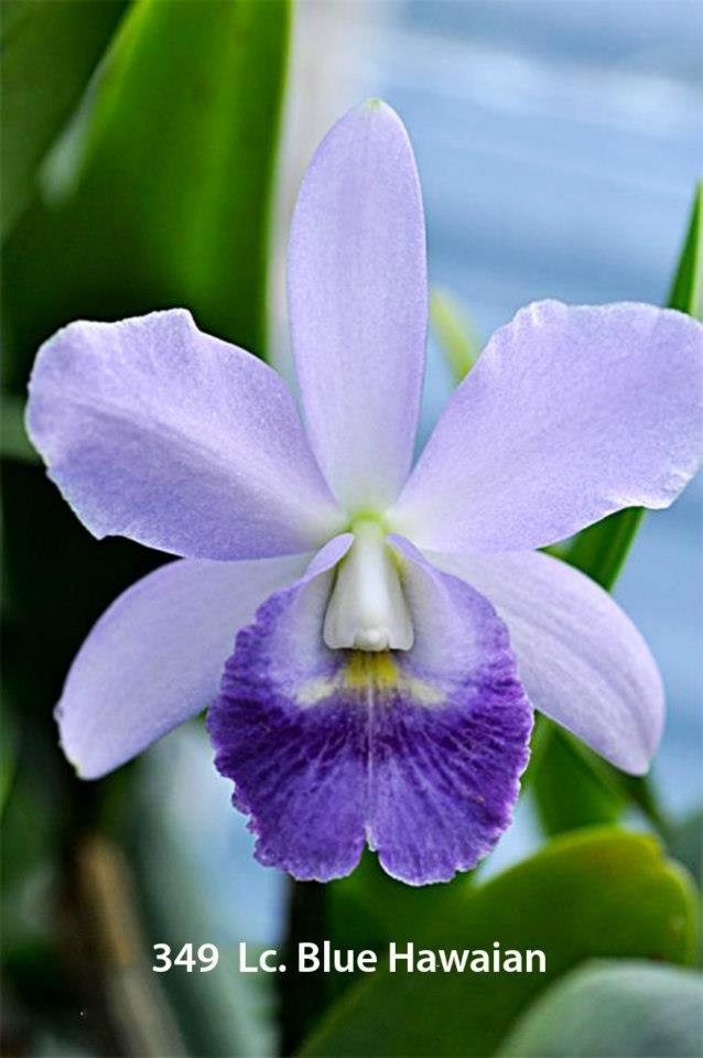 Orquideas bella, silvestre y delicada