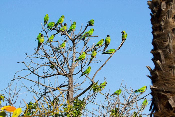 Nanday Parakeet flies from one perch to another