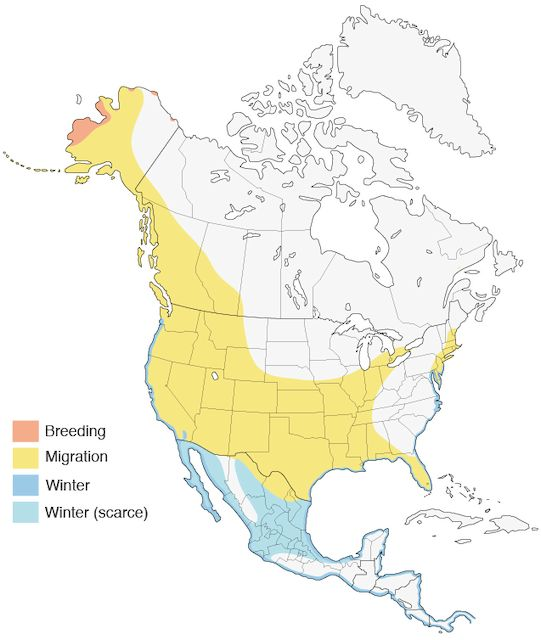 Western Sandpiper - Introduction | Birds of North America Online
