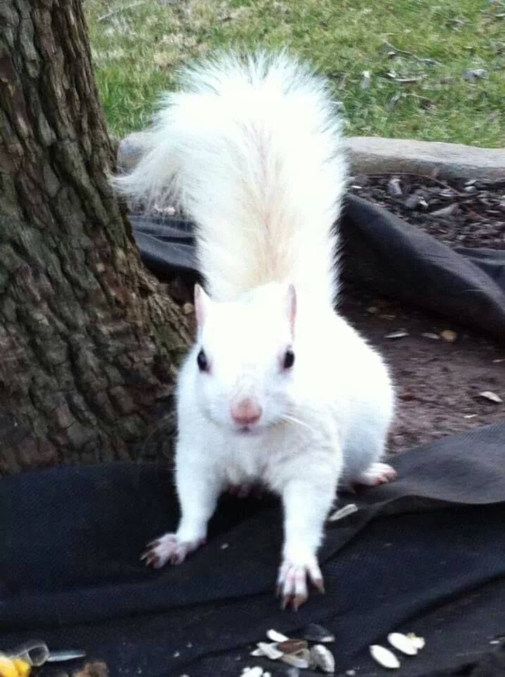 #Albino looking squirrel is a MOST POPULAR RE-PIN that  definitely fits the category of ANIMALS OF A DIFFERENT - https://www.pinterest.com/DianaDeeOsborne/animals-of-a-different/ - on Pinterest. #DianaDee RESEARCH: Truly NOT albino- Just WHITE because of its recessive gene found within certain Eastern gray squirrel - like 2 brown eyed parents can have a blue eyed baby.
