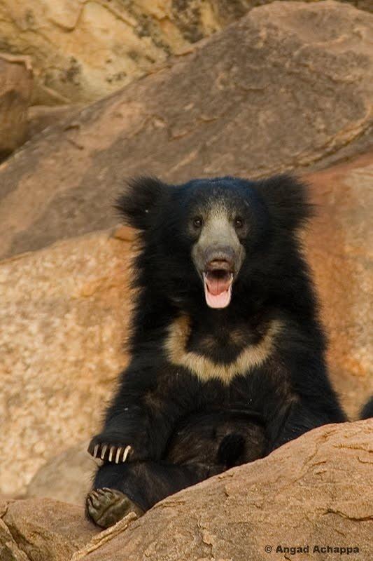 Sloth Bear at Daroji Bear Sanctuary, India