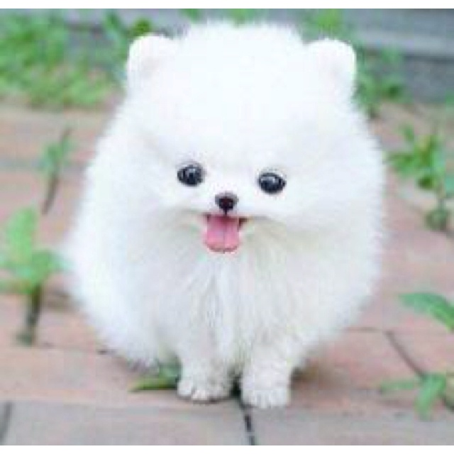 32 best images about Dogs on Pinterest | Little dogs, Teacup ...
