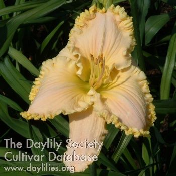 Daylily women seeking men