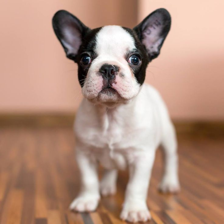 black and white french bulldog puppy