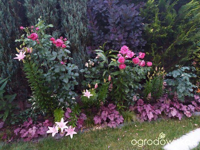 Bordo I Roz Perukowiec Zurawki Roza Soul I Maxim Lilie Plants