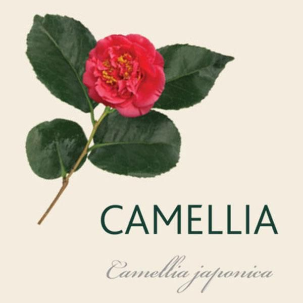 Every Camellia Has A Story Camellia Tree Trees To Plant Tree Meanings