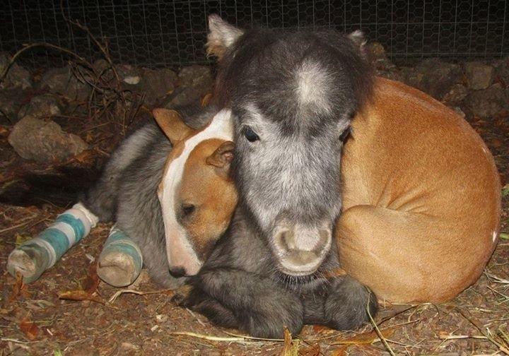 Bazinga, um pequeno cavalo é consolado por Butterbean, um cão da raça bull terrier, depois de passar por uma cirurgia para corrigir os tendões.  O refúgio Rocky Ridge em Midway, Arkansas (EUA) abriga cerca de 60 animais, entre eles estão cães, cavalos, zebras e tartarugas. O abrigo funciona há 20 anos como lar para animais selvagens e também oferece tratamento a bichos feridos, que são tratados e encaminhados para adoção