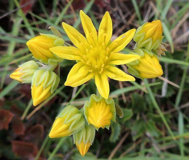 Sedum amplexicaule subsp. tenuifolium   Flora hellenica   Bloglovin'