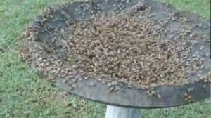 Feeding Tea Tree Oil To Bees to Kill Mites