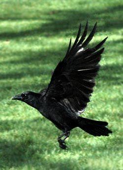 Crow in flight.