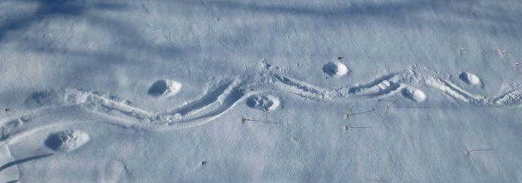 trail of bobcat tracks dragging prey