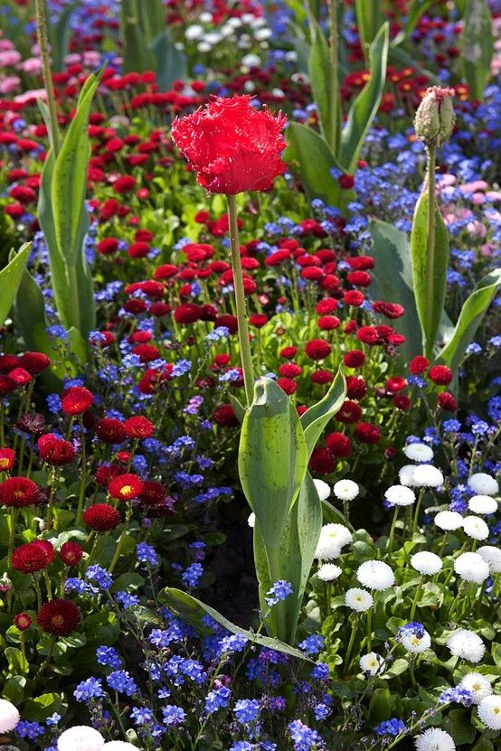 Those white English daisies are adorable:  summer flower garden.....red, white, blue