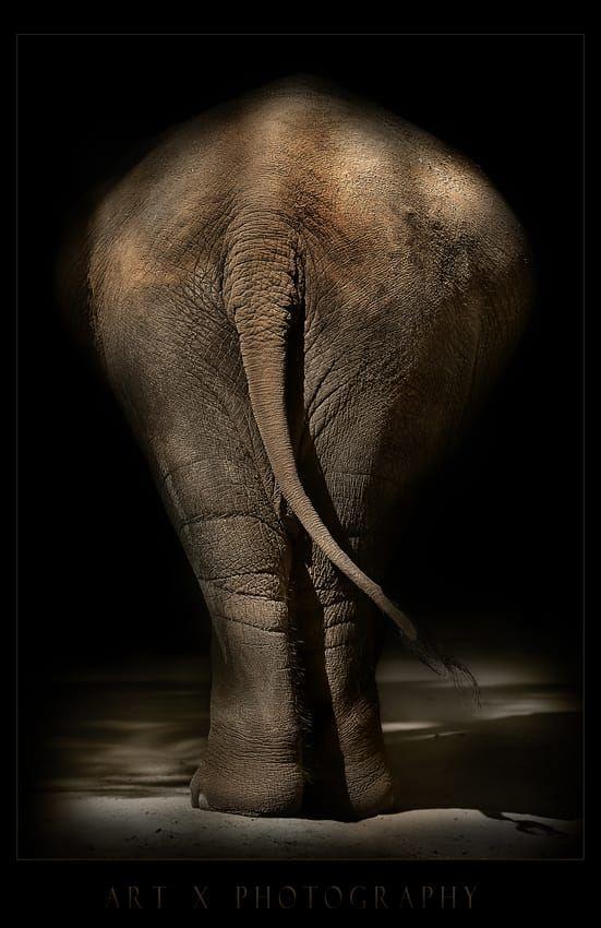 Best 25+ Asian elephant ideas on Pinterest | Elephant pics ...