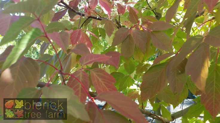 Acer negundo – Sensation – Purchase Bare Rooted Trees Online