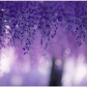 Wisteria Flowers Background Wallpaper | wisteria flowers background wallpaper 1080p, wisteria flowers background wallpaper desktop, wisteria flowers background wallpaper hd, wisteria flowers background wallpaper iphone