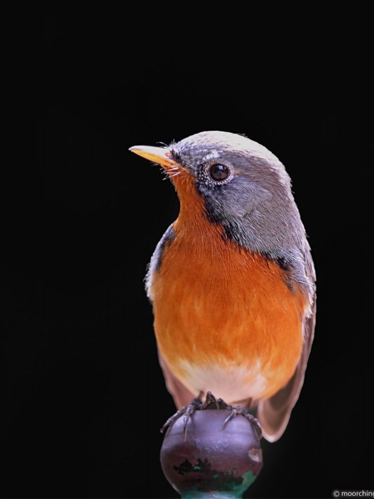 Kashmir Flycatcher, breeds in the NW Himalayas in the Kashmir region of the ISC, winters in the hills of central LK & the W Ghats of IN - (c) Gurura Moorching