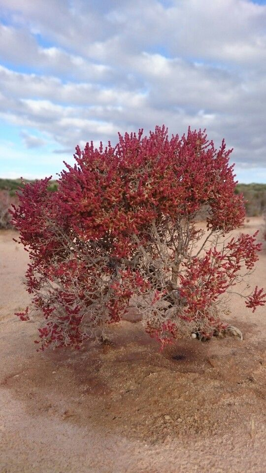 Natures Gift  A beautiful little Bintharri shrub growing on the birrida