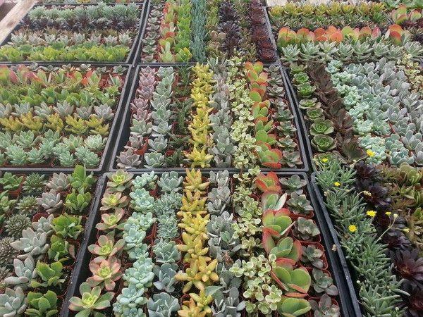 1000 ideas about succulents for sale on pinterest crassula ovata buy cactus and succulents. Black Bedroom Furniture Sets. Home Design Ideas