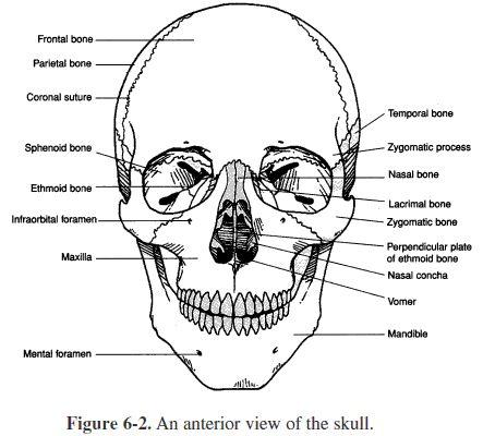 Skeletal System - Videos & Lessons | Study.com