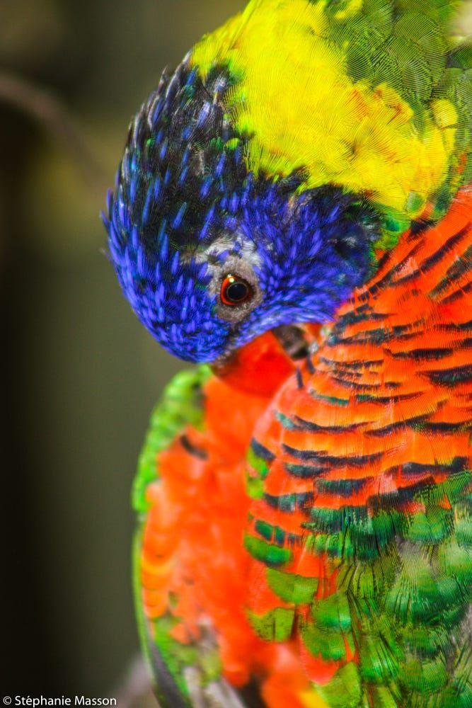Rainbow lorikeet by Stéphanie Masson on 500px - The rainbow lorikeet is a species of parrot found in Australia.