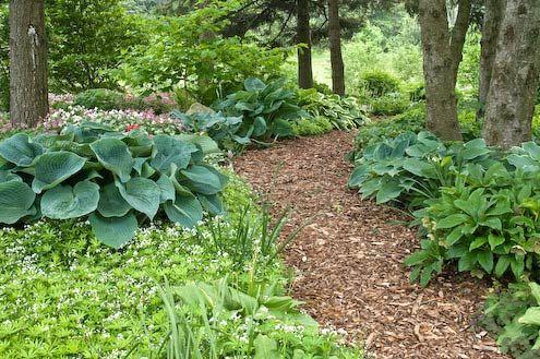 shady garden - hostas and paths