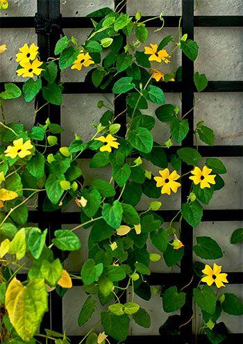 A amarelinha pode ser cultivada junto a treliças, cercas, árvores e arbustos, pode crescer rasteira sobre o solo, ou pode ficar pendendo em jardineiras em sacadas ou em vasos pendurados no alto.