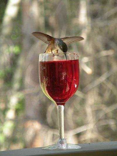 Hummingbird drinking wine!