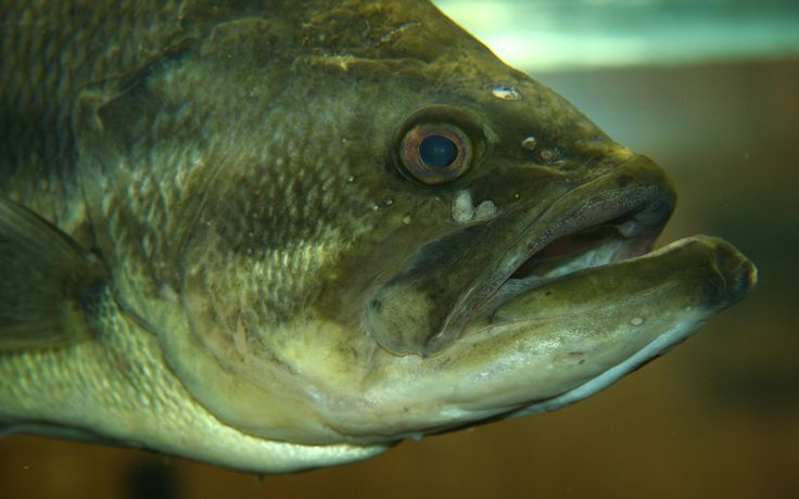Largemouth Bass (Micropterus salmoides): freshwater fish of the sunfish family, a black bass native to North America. Regional names are brown bass, widemouth bass, bigmouth bass, black bass, bucketmouth, Potter's fish, Florida bass, Florida largemouth, green bass, green trout, gilsdorf bass, linesides, Oswego bass & southern largemouth.