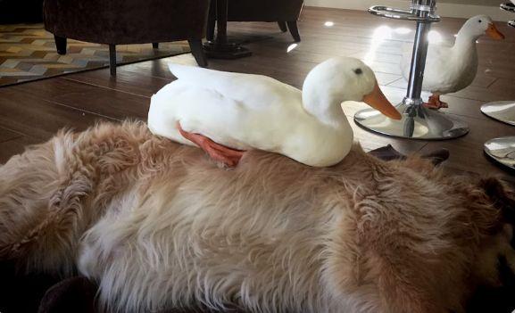 Dos amigos inusuales pero inseparables   Mascotas