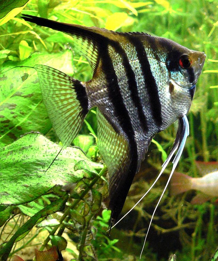 85 Best Images About Freshwater Anglefish On Pinterest