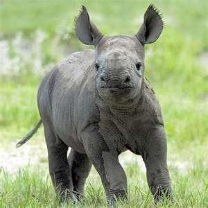 love baby rhinos!