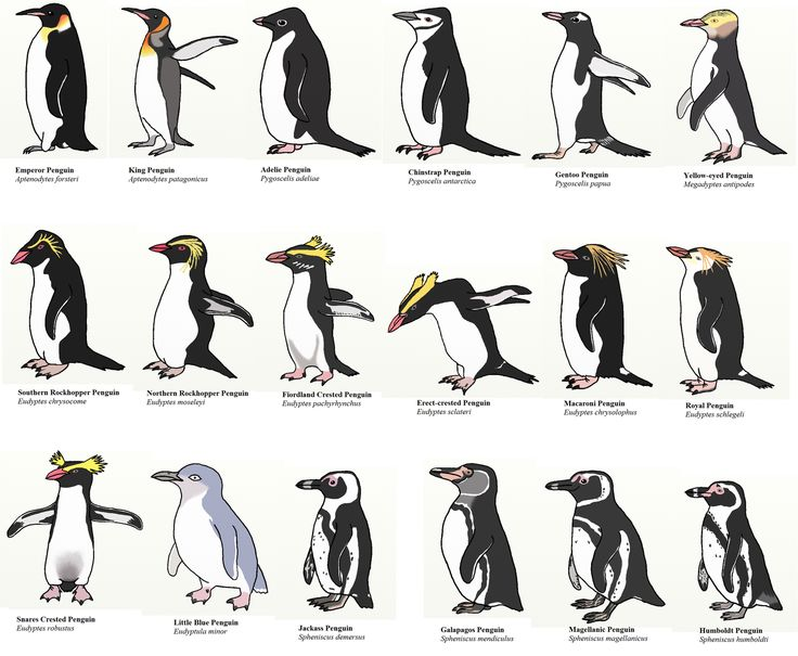 all the different kinds of penguins ! ! ! Love it! | Penguins of the World