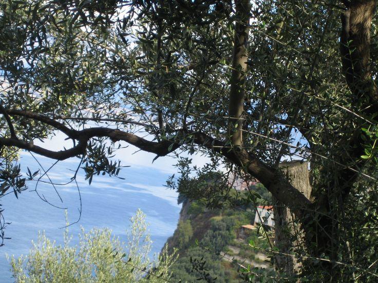 Sorrento coast framed by Olive tree