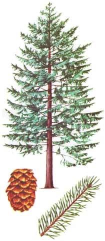 Sitka Spruce, for PNW corner