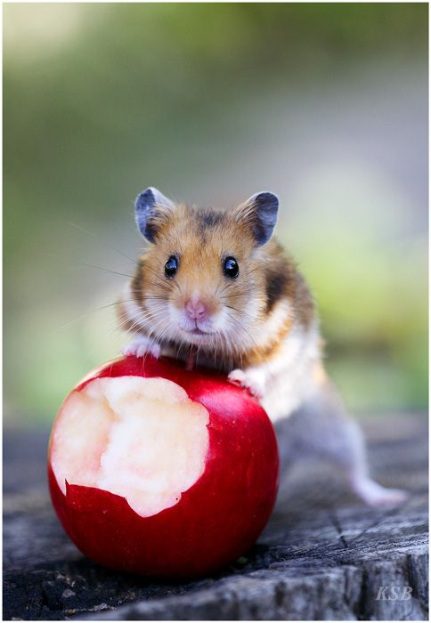 hamster with an apple  I'll share, but only if you promise to play with me.