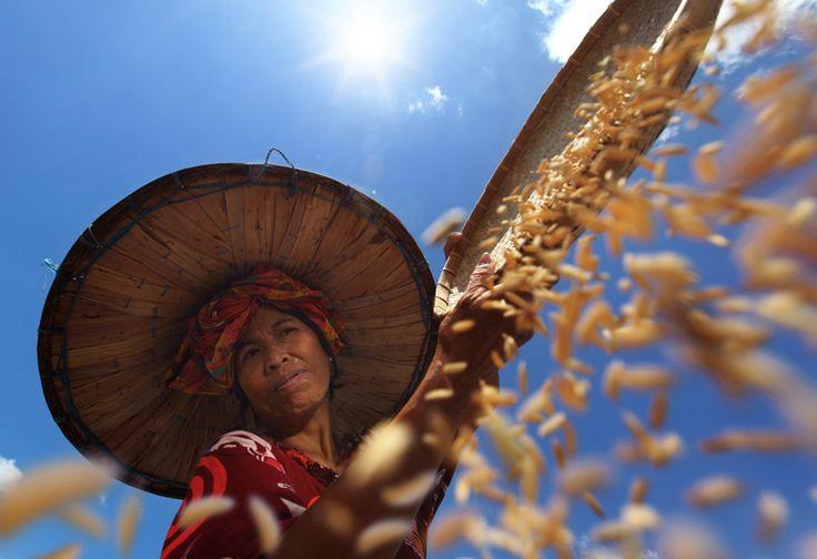 Farmer under the sun, 2012 (Alamsyah Rauf)